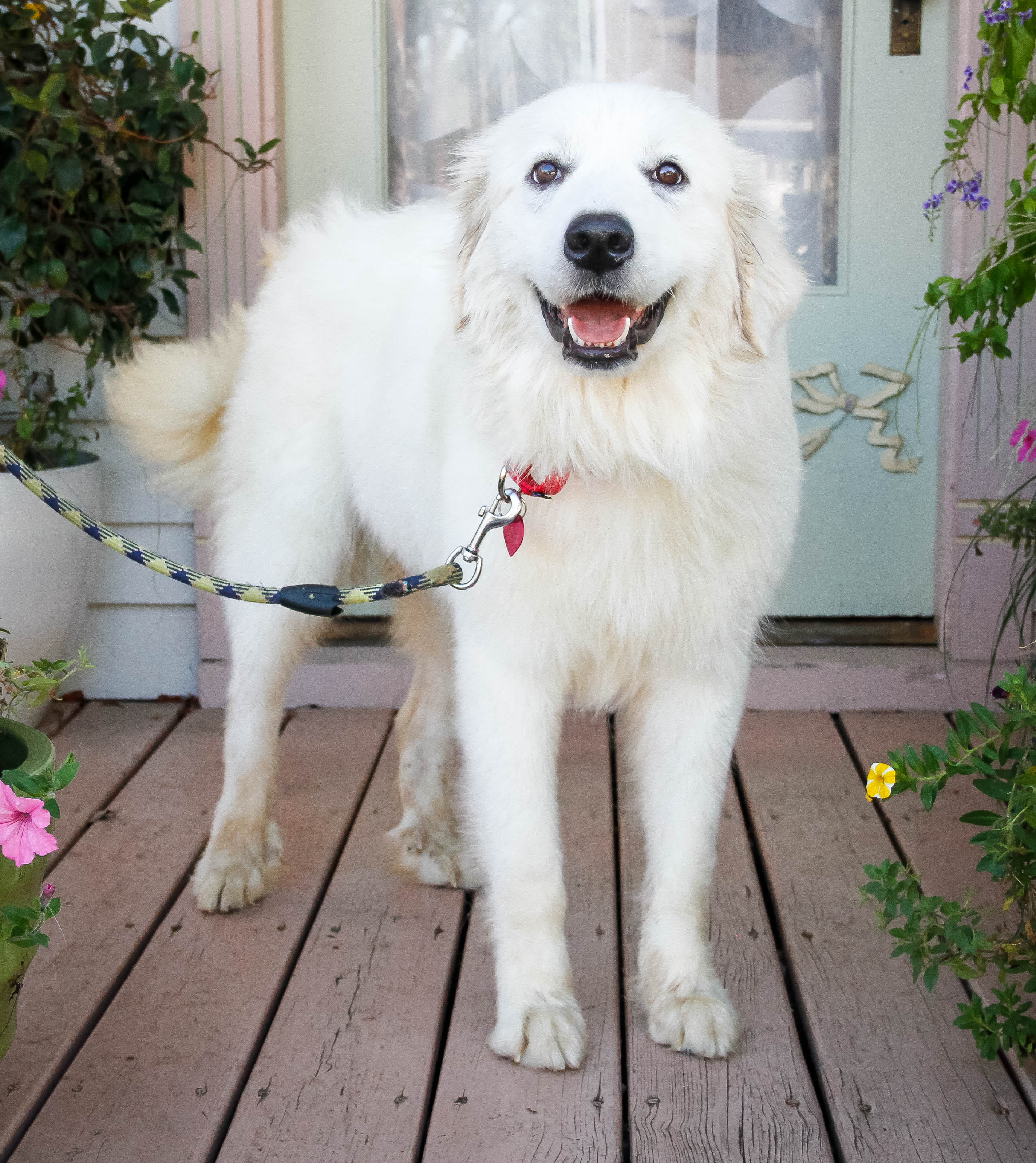Great Pyrenees - Dogs 101 Animal Planet