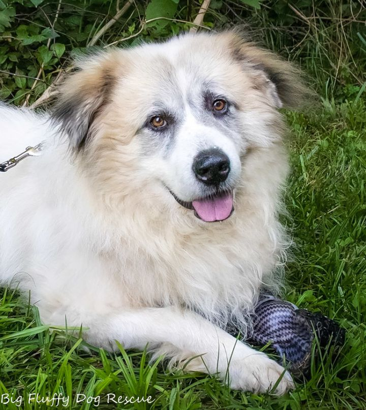 Available - Big Fluffy Dog Rescue
